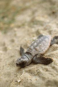 mala glavata želva