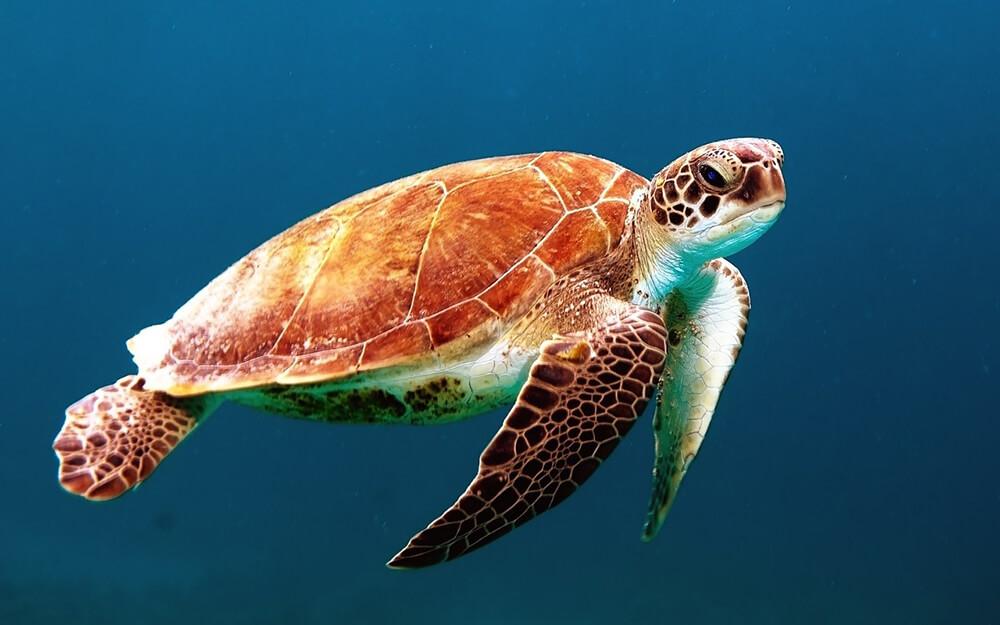 glavata želva
